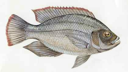 Tilapia for Is tilapia a fake fish